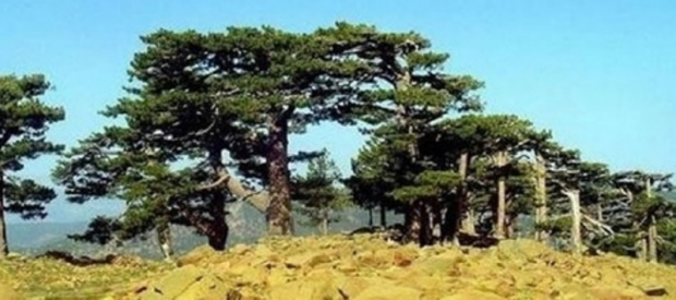 Bu Ağaçlar 1300 Yaşında