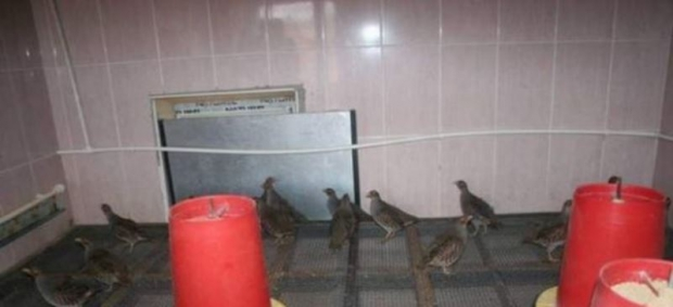 Çil Kekliklerin Nesli Tükenmeyecek