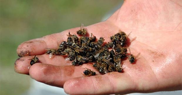 Tarım İlacı Yüzlerce Arıyı Telef Etti