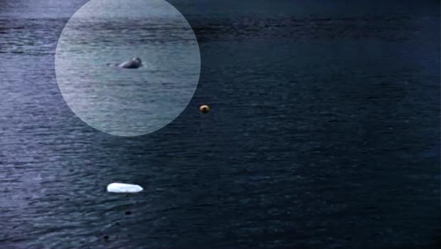 Yıllar Sonra Marmara Denizi'nde Akdeniz Foku Görüldü