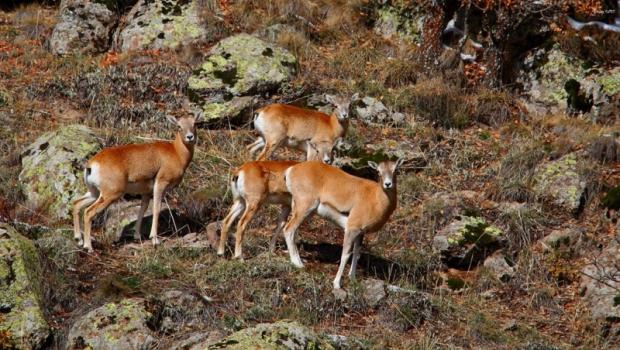 Orman ve Su İşleri Bakanlığı'ndan Anadolu Yaban Koyunlarına Yeni Yaşam Alanı…