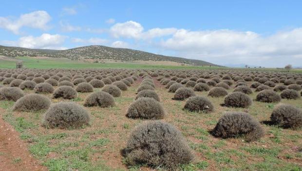 Türkiye'nin İlk Tip Lavanta Vadisi Projesi Isparta'da Uygulanacak…