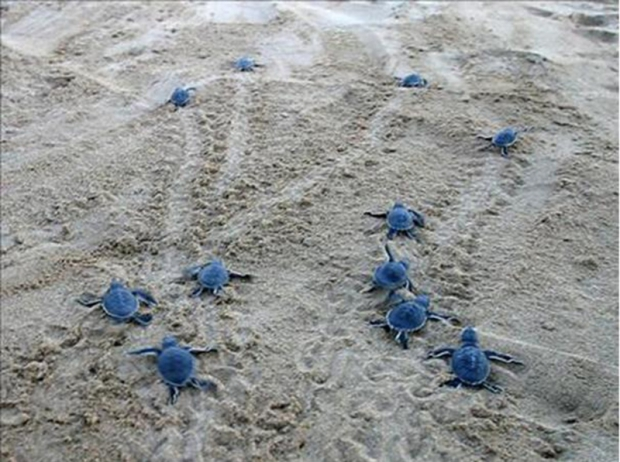 2015 Yılında Türkiye Sahillerinden 391 Bin 152 Yavru Deniz Kaplumbağası Sularla Buluştu…