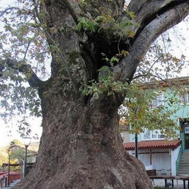Kocaeli'deki Anıt Ağacın Yaşı 1.224