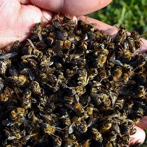 Mısır Üretimi Arttıkça, Arılar Ölüyor